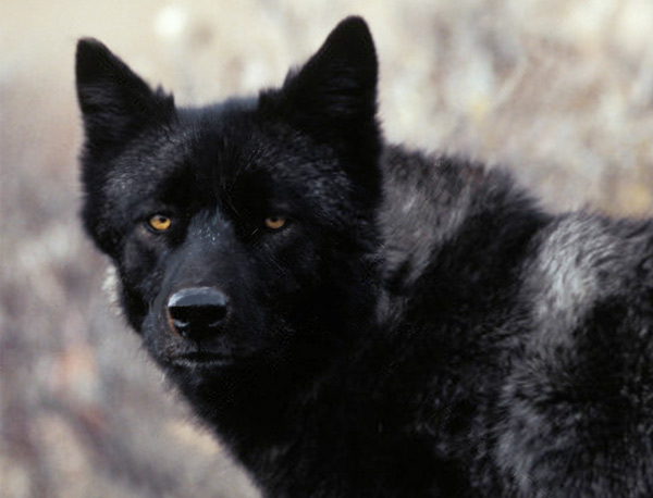 Ontario Black Wolf, Grey Wolf