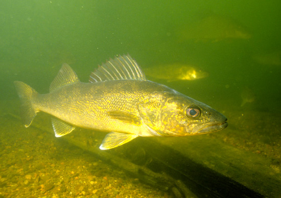 Walleye fishing Ontario - underwater