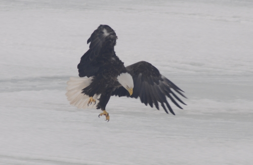 Large bald eagle swooping in for a landing on the frozen ice.
