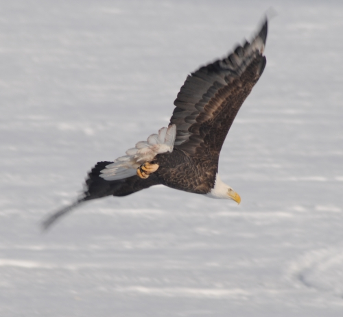 Large bald eagle soaring through the winter skies.
