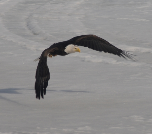 Big bald Eagle swooping in for a landing after spotting some freshly killed prey.