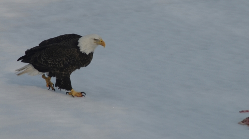 Eagle walking up to his supper