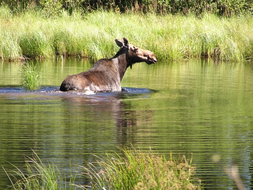 While out riding on the ATV, I came upon this cow moose feeding in a creek.  She was just as curious as I was.  Wonder if I will see her during hunting season?