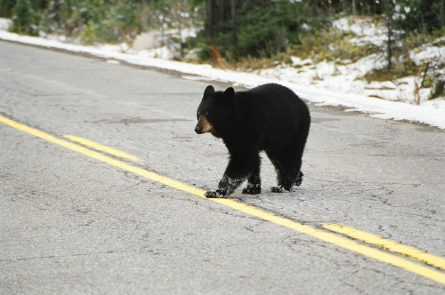 Picture taken of a young black bear crossing the highway.