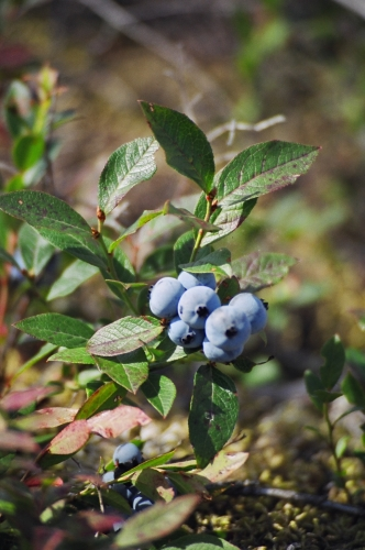 Close up of a wild blue berry bush. Delicious wild  blue berries grow all over the Patricia Region!