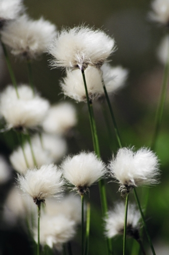 Tufts of cotton grass that grows locally during the summer months.