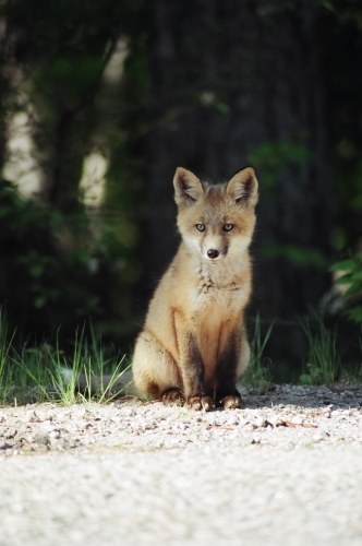 Picture taken of a crafty young fox sitting on the side of the road.