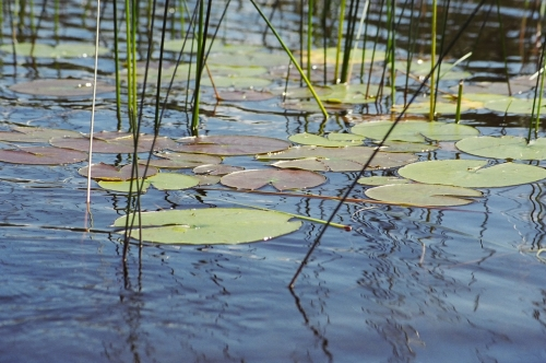 A patch of lilly pads, which could be hiding a trophy smallmouth bass or muskie.