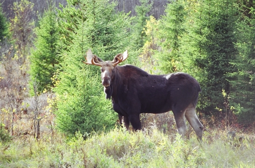 bull moose taking a moment to survey a clearing.