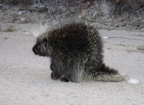 Porcupine displaying his quills on a beach, near Wabaskang Lake.