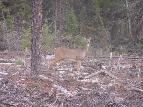 While out for a drive, this doe stepped out of the treeline and posed for us.  White tailed deer are seen throughout the Patricia Region.
