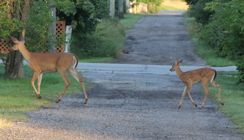 Had some visitors down the back alley.