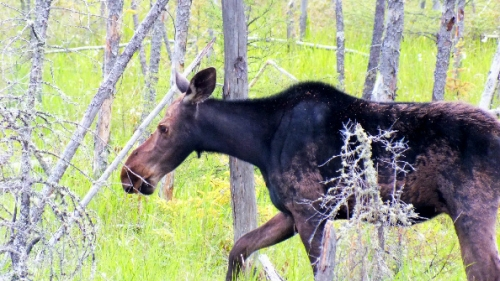 Here's a picture of a moose just doing what moose do best