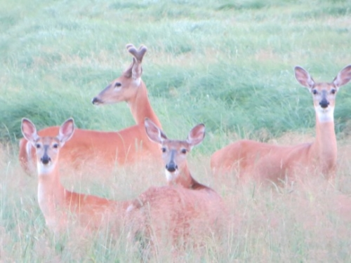 A small group of deer spotted in a field. Just look at how beautifully coloured they are!