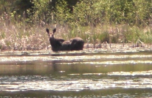 A nice cow moose spotted near the shore of a lake. I wonder if she will be seen again in hunting season?