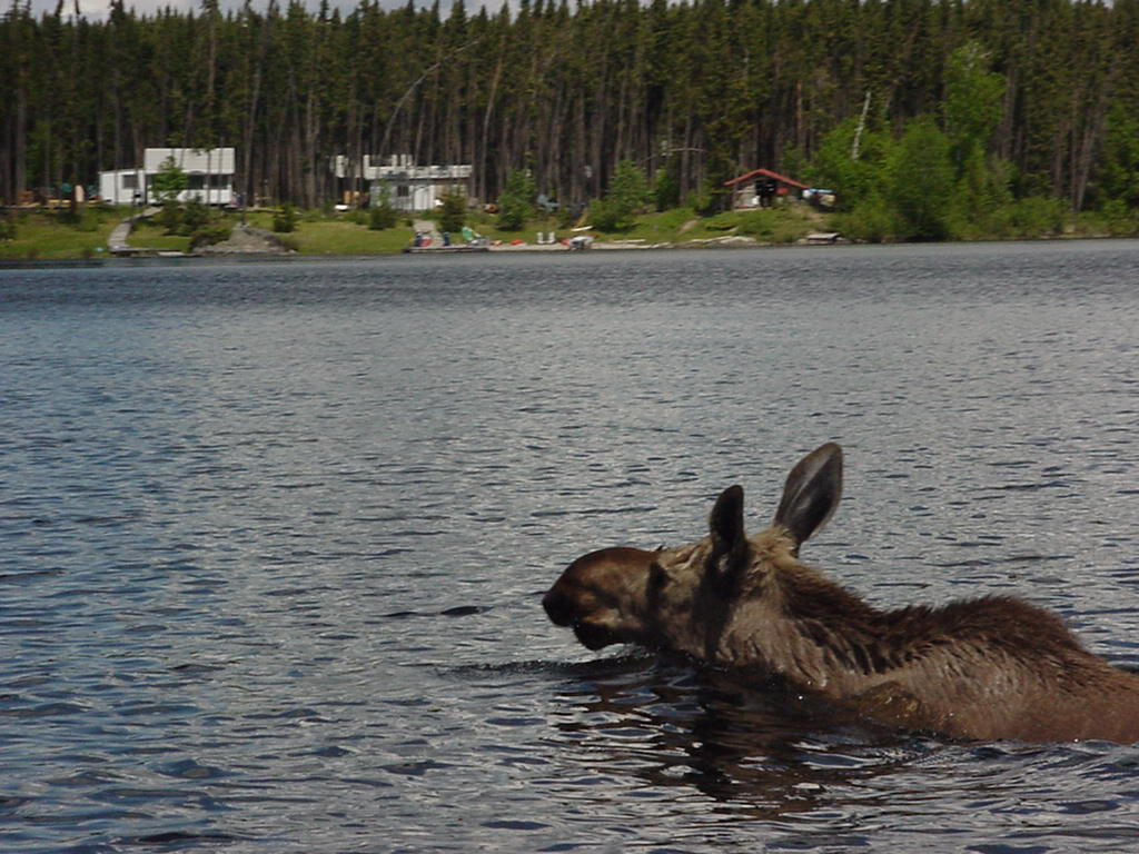 moose swimming across lake