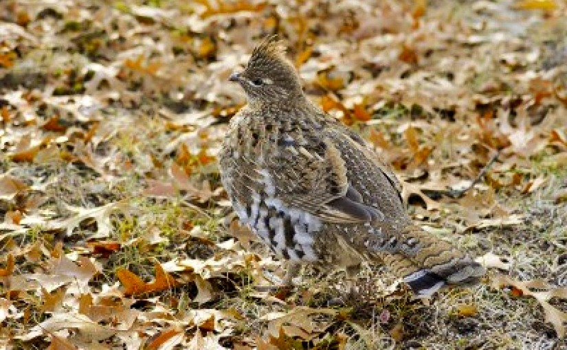 Ruffed Grouse (Partridge) Hunting