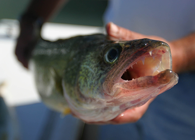 Walleye Trips to Lac Seul