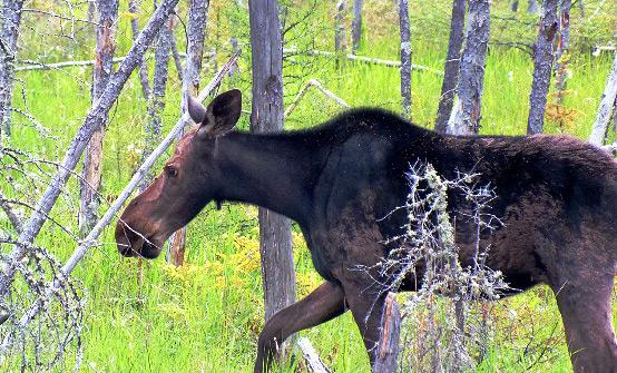Ontario Trophy Moose Hunting