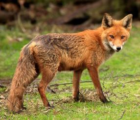Good Fox, Bad Fox