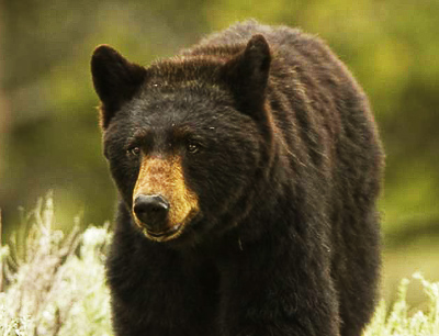 Thoughts on Bear Hunting